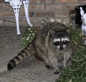 One Of The Two Raccoons Seen On Radcliffe Drive On June 28th, ...