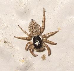 Spiders - Davis - LocalWiki