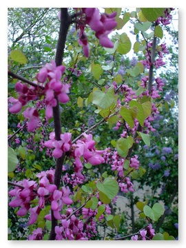 Western redbud davis localwiki small multi trunked tree it blooms early in the spring typically before the copper heart shaped leaves appear the beautiful magenta pea like flowers mightylinksfo