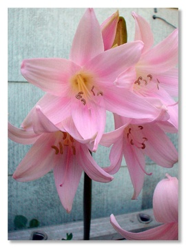 Naked lady davis localwiki the naked lady amaryllis belladonna l is one of just two species of bulbs within the genus amaryllis these beautiful plants hail from the western cape mightylinksfo