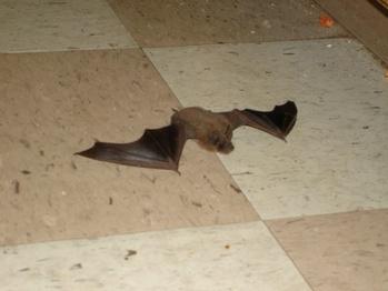 Indoor Bat