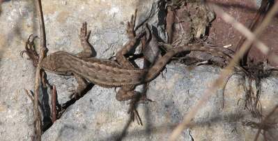 What Do Lizards Eat And Drink In Backyards western fence lizards - davis - localwiki