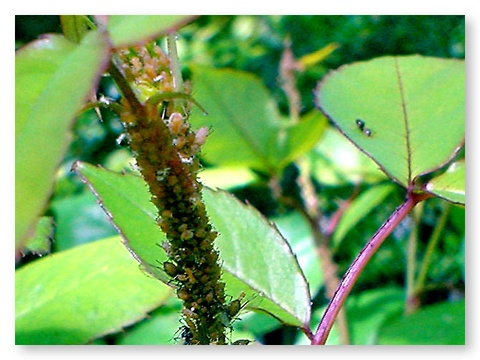 Aphids Love Roses And Ants Will Protect From Natural Predators