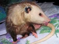 Opossums - Davis - LocalWiki