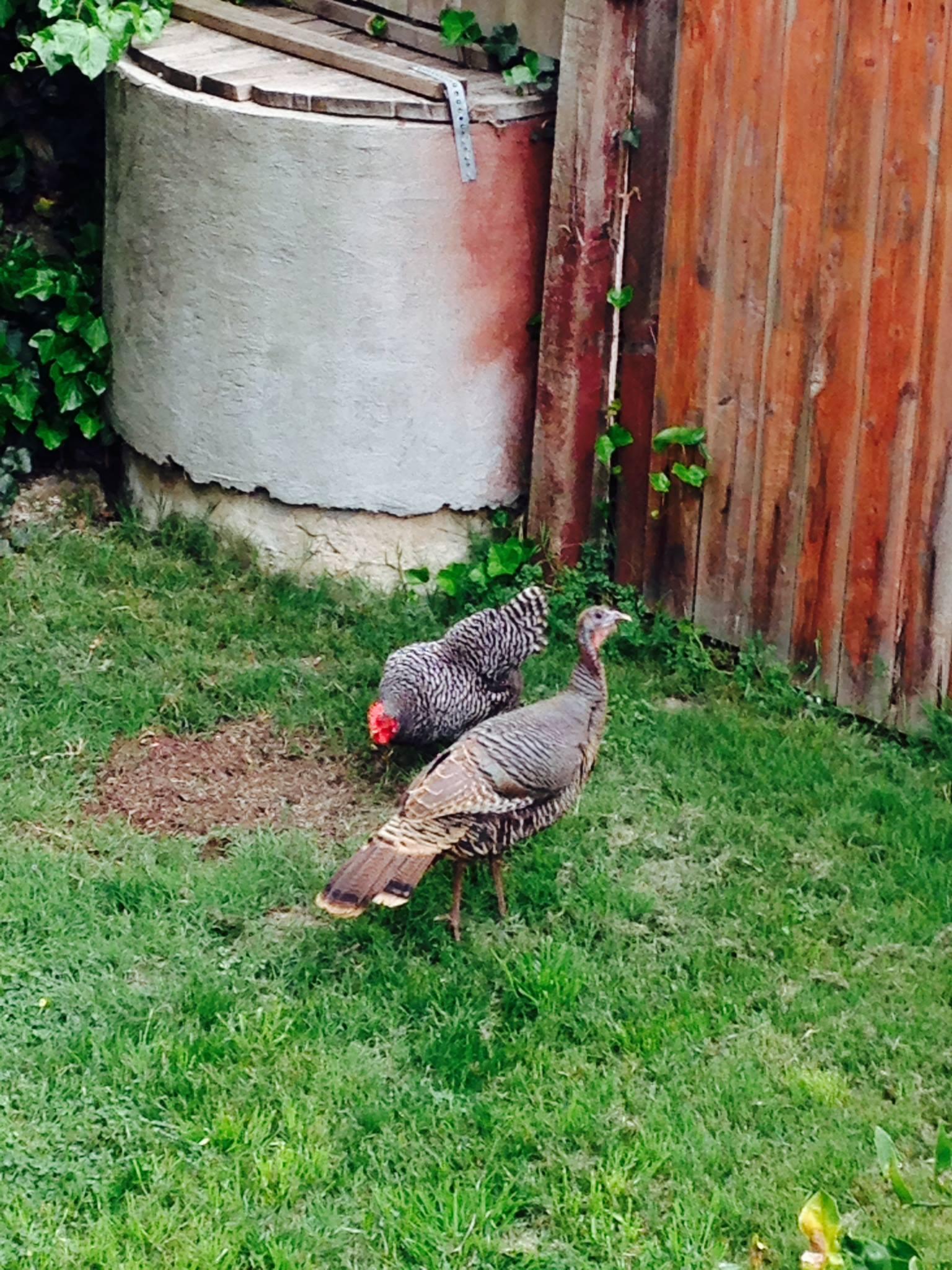 """Information about """"Turkeys in Longfellow backyard, March ..."""